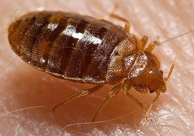 Don't let the bed bugs bite - The Villager Stevenson University 1