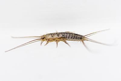 Don't let the bed bugs bite - The Villager Stevenson University 2